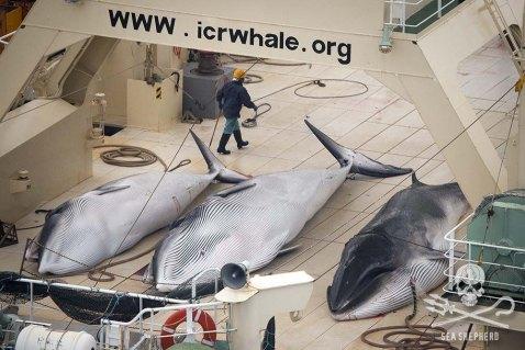 Ballenas. Sea Shepherd